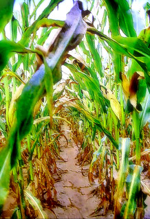 Looking Down The Corn Row | by Big Grey Mare