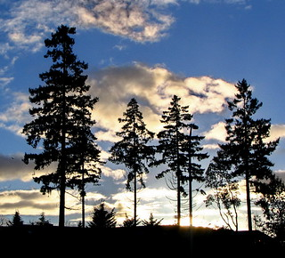 DOUGLAS FIRS at Sundown | by robinb44