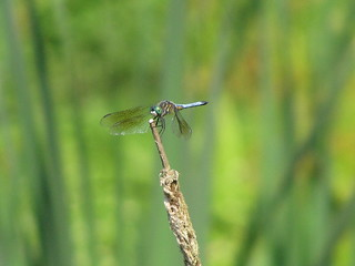 Blue dasher | by Lois Stacey