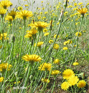Dandy Lions | by gailpiland