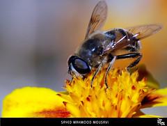 حاج  زنبور عسل :D  (honey-bee) by M O U S A V I
