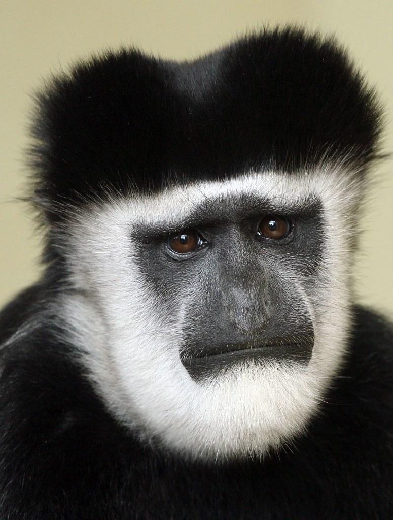 Black And White Colobus Monkey White Colobus Monkey