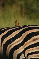 oxpecker on zebra | by mafunyane_pics