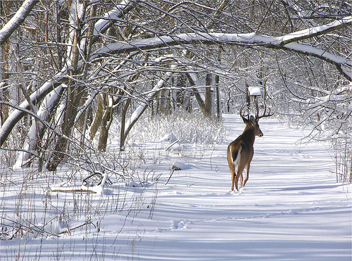 White Tail Buck In Winter 5
