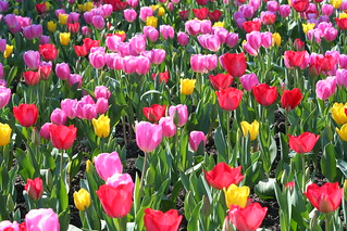 Tulips Everywhere | by John-Morgan