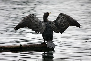 Cormorant - on the dry cycle | by Christopher Mark Perez