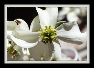 ~~Flowering Dogwood~~ | by ~~~Gasssman~~~