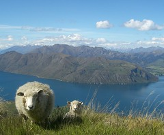 Sheep on Mt. Roy / View down to Lake Wanaka | by discodiddi