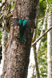Quetzal not a Woodpecker! | by DocNordic