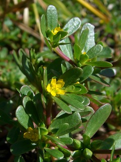 Common Purslane | by pellaea