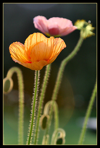 Poppies | by Janice of NZ