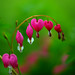 Bleeding Heart Bush