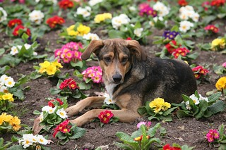 Dog in the Flowers | by Alex E. Proimos