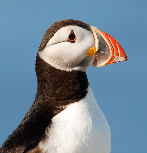 Atlantic Puffin | by Billtacular