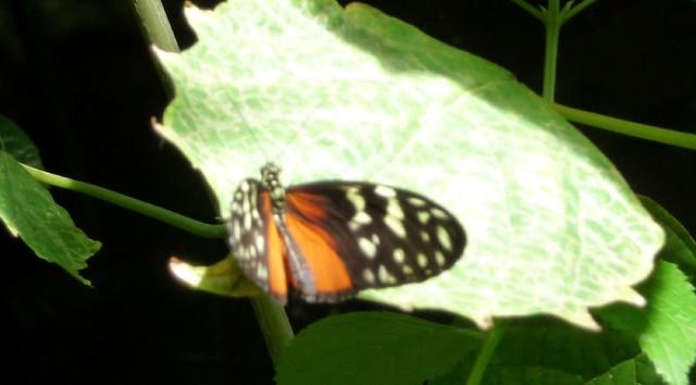 Victoria Butterfly Gardens Flickr