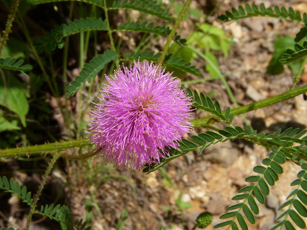 Sensitive Briar Missouri Sensitive Briar | Mimosa