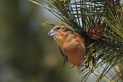 Crossbills revisted #1 by Stu Price