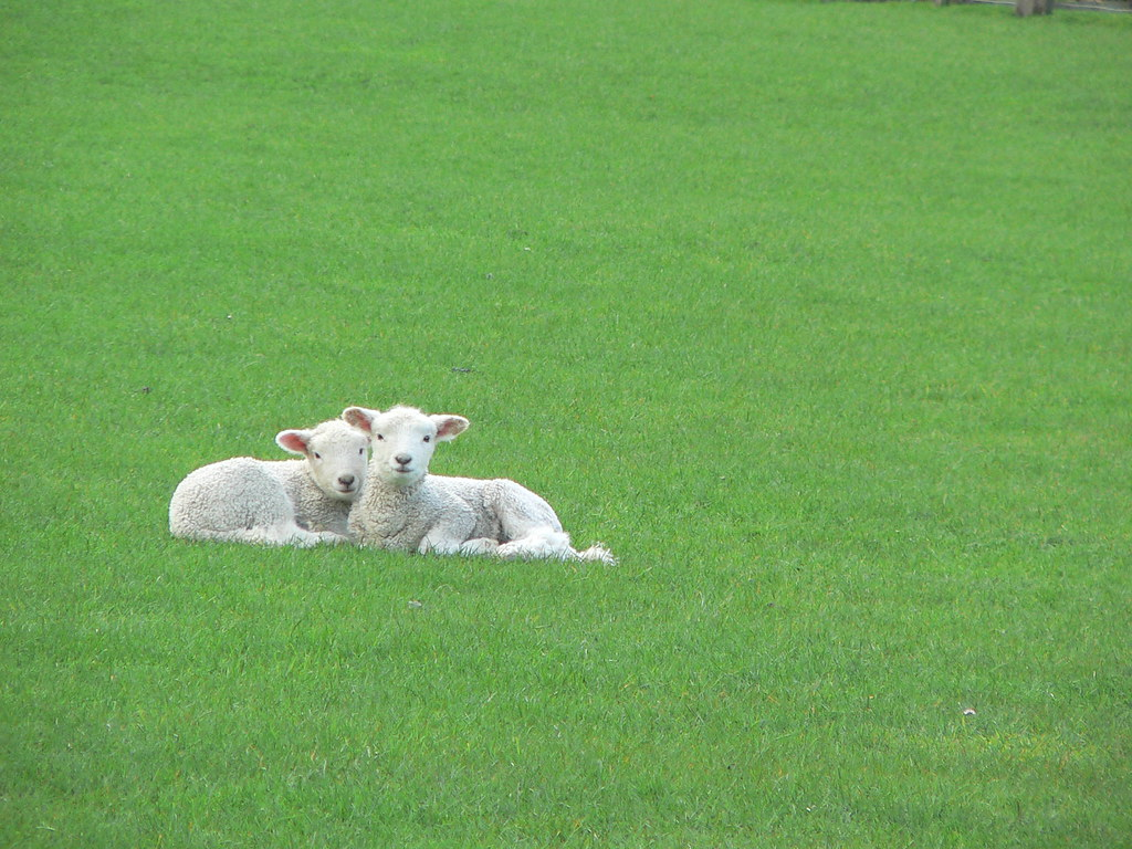 More sheep puppies