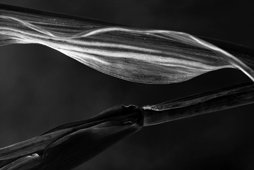 Corn Plant Detail In Black & White | by Big Grey Mare
