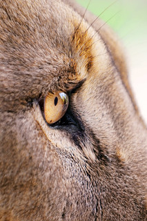 The eye of the lion II | by Tambako the Jaguar