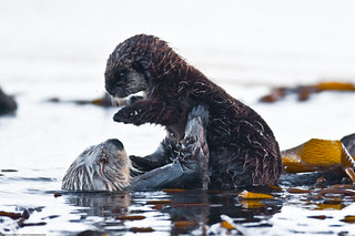 Mother Mom Sea Otter Holds Pup 7 of 9 Sea Otter (Enhydra lutris), female, marine mammal, with her baby pup | by mikebaird