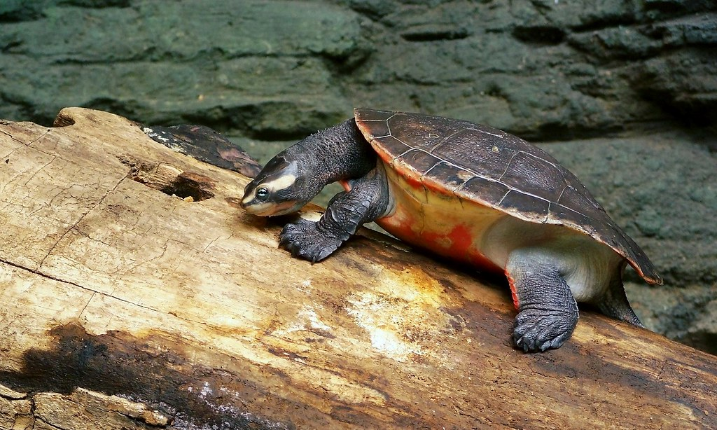 Red Bellied Short Necked Turtle Red Bellied Side Neck Turtle