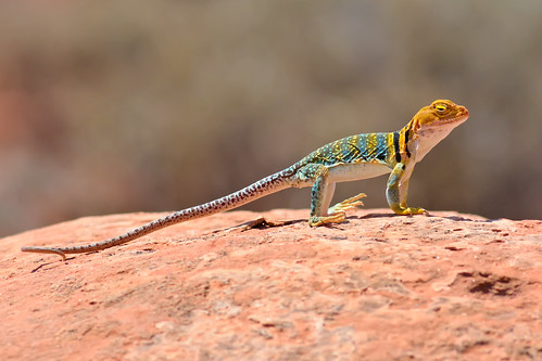 Collared Lizard Scanning for Prey | by Fort Photo