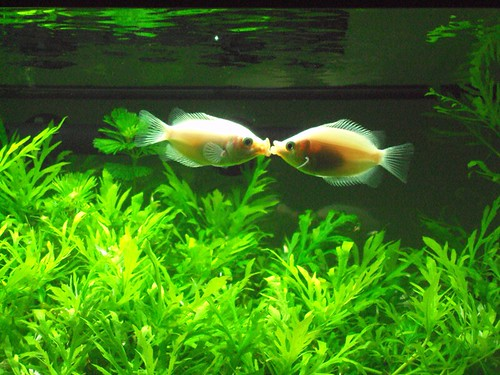 Fish pink gouramis kissing it seems like every time i for Pink kissing fish