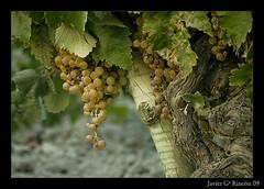 Viña en Jerez / Vineyard in Jerez (Spain) by El ladrón de luces