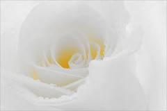 Flower / Rose Flower / Macro Flower / White Rose Flower / high key / close up rose / closeup / - IMG_9865 - | by Bahman Farzad