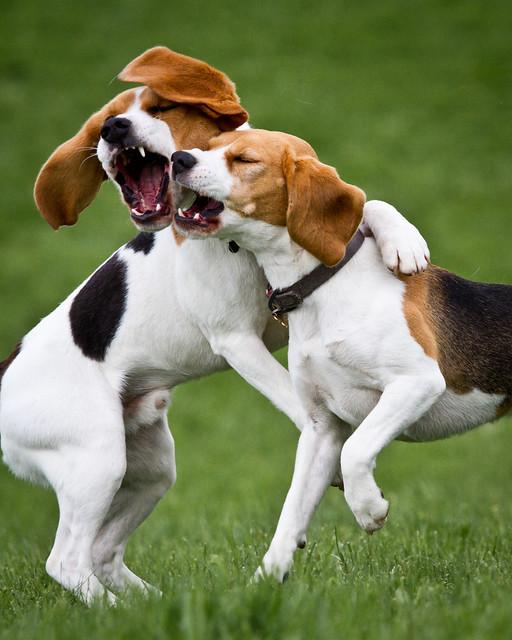 IMG_0872 - Beagle Karaoke!