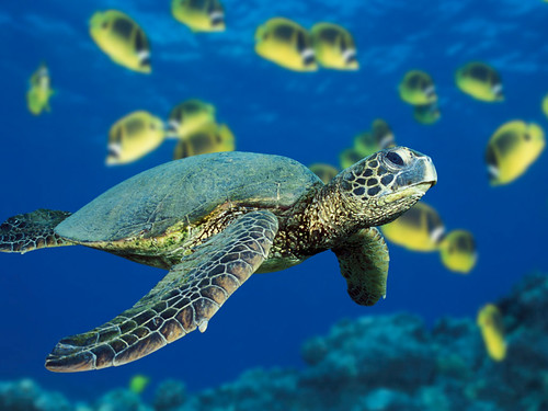 A green sea turtle swims past a school of Raccoon Butterflyfish near Hawaii. | by heyhaydude