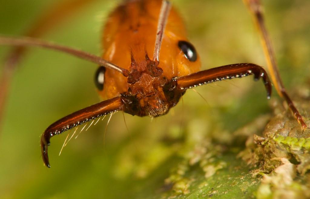 Trap Jaw Trap Jaw Ant Odontomachus