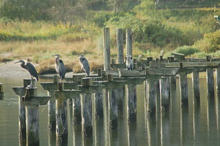 Herons on Piling - Crescent Beach, BC | by Michael Klotz - The Bird Blogger.com