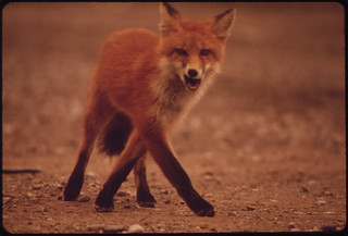 A Young Female Fox near Galbraith Lake Camp 08/1973 | by The U.S. National Archives