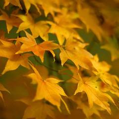 Autumn Gold by Graham Vincent