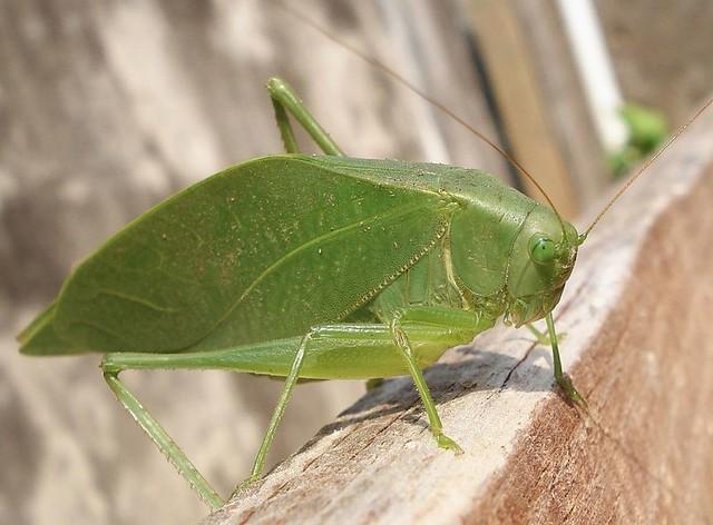 Resultado de imagem para esperanças (Orthoptera