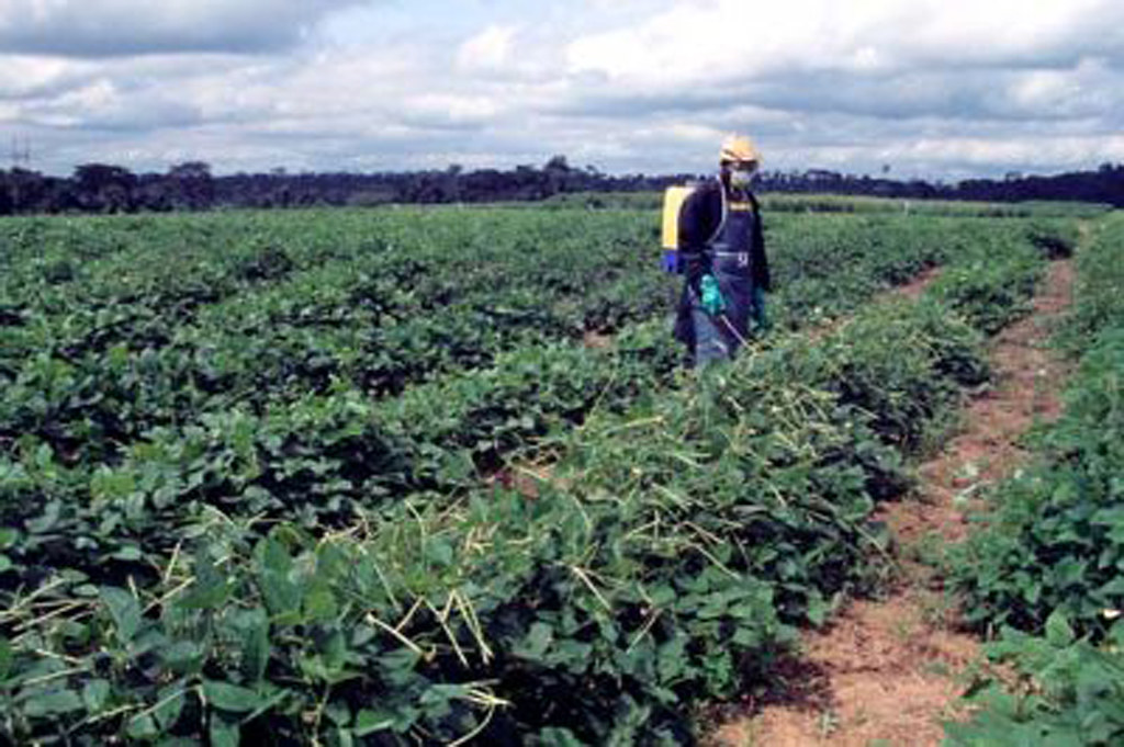 Spraying insecticide in cowpea field