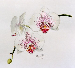 Phalaenopsis Orchid with Spots