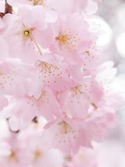cherry blossom by hirekatsu
