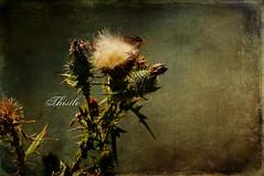 Thistle by Skeletalmess