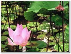 Lotus Flower on a pond at Bebek Bengil Ubud by tinybubble photos virna tendean