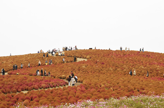 hitachi seaside park_26