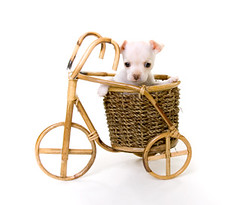White Puppy Sitting Inside Bicycle Basket | by Kathytt624
