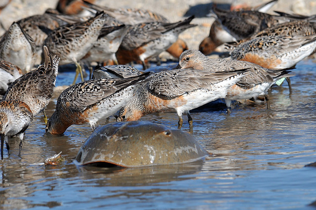 Red Knot and Horseshoe Crab