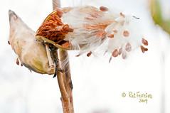Milkweed by CUCKOOPHOTHOG