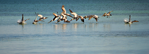 pelicans sea vista-118 | by dfbphotos
