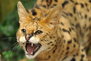 Serval Hissing | by Ami 211