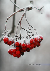 Winter berries by Swedish Goose