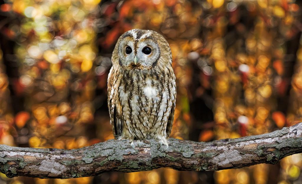 Tawny Owl_DSC0597 (2)